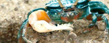 Albertino el cangrejo